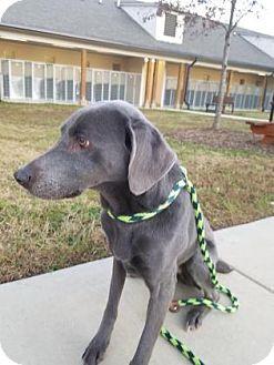 Weimaraner Mix Dog for adoption in Cumming, Georgia - Spirit