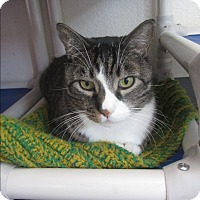 Domestic Shorthair Cat for adoption in Ridgway, Colorado - Caesar