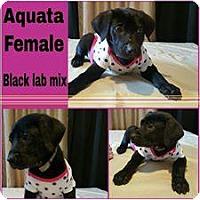 Labrador Retriever Mix Puppy for adoption in Racine, Wisconsin - Aquata