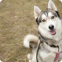 Adopt A Pet :: Bella - Harvard, IL
