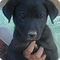 Adopt A Pet :: Lexi's Laker - Las Vegas, NV