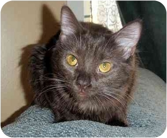 Havana Brown Kitten for adoption in Hamilton, Ontario - Hershey