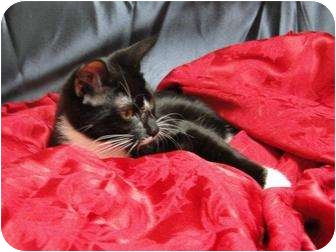 Domestic Shorthair Cat for adoption in Orlando, Florida - Flame