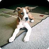 Adopt A Pet :: Valentine - Toluca Lake, CA