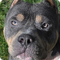 Adopt A Pet :: Chewbbie-American Bully - Valley Springs, CA