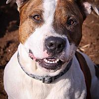 Adopt A Pet :: Gunner - St Helena, CA