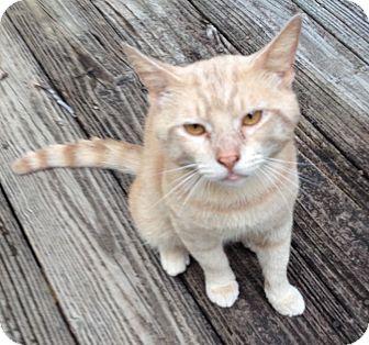 Domestic Shorthair Cat for adoption in Monroe, Georgia - Travis