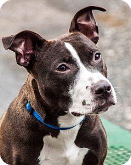 Pit Bull Terrier Mix Dog for adoption in Port Washington, New York - Pablo