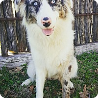Adopt A Pet :: Luna - Fredericksburg, TX