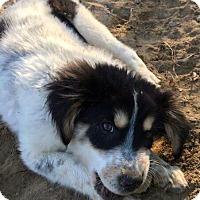 Adopt A Pet :: DAKODA-adoption pending - Glenburn, ME