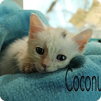 Adopt A Pet :: Coconut - Wichita Falls, TX