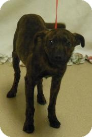 American Pit Bull Terrier Mix Puppy for adoption in Gary, Indiana - Phil