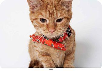 Domestic Shorthair Kitten for adoption in New York, New York - James