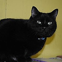 Domestic Shorthair Cat for adoption in Bay City, Michigan - Jasmine