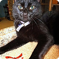 Domestic Shorthair Cat for adoption in Converse, Texas - Kashi