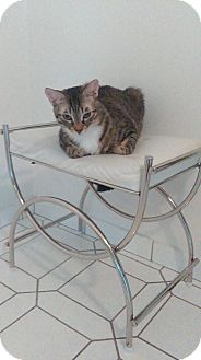Bengal Cat for adoption in Sunny Isles Beach, Florida - Izzy