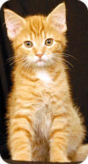 Domestic Shorthair Kitten for adoption in Newland, North Carolina - Oslo
