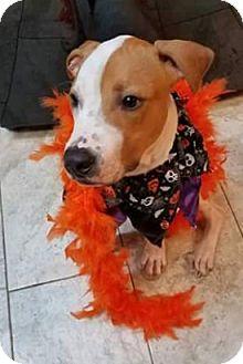 Boxer/English Springer Spaniel Mix Puppy for adoption in HARRISBURG, Pennsylvania - SPENCER