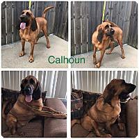 Bloodhound/Mastiff Mix Dog for adoption in Garden City, Michigan - Calhoun