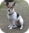 Jack Russell Terrier Dog for adoption in Richmond, Virginia - Jack
