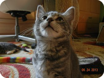 Domestic Shorthair Kitten for adoption in Southington, Connecticut - Cuddly