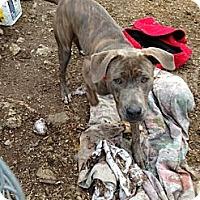 Adopt A Pet :: hunter - Wanaque, NJ