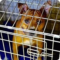 Terrier (Unknown Type, Medium) Mix Dog for adoption in Middletown, Ohio - Ralph