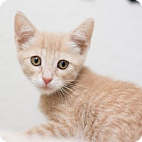 Adopt A Pet :: Gibson - Fountain Hills, AZ