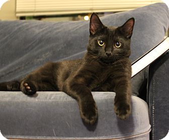 Domestic Shorthair Kitten for adoption in Carlisle, Pennsylvania - Jeremiah