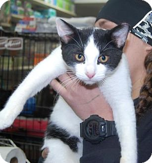 Domestic Shorthair Kitten for adoption in Brooklyn, New York - Lotto