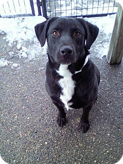 Labrador Retriever Mix Dog for adoption in Sauk Rapids, Minnesota - Ritter