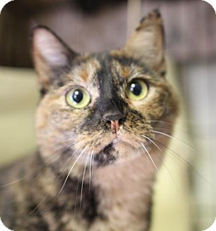 Domestic Shorthair Cat for adoption in Winston-Salem, North Carolina - Pepper