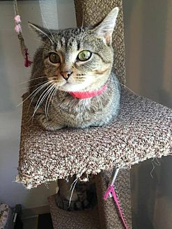 Domestic Shorthair Cat for adoption in Hanna City, Illinois - Molly