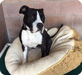 Pit Bull Terrier Mix Dog for adoption in Chico, California - Pickles