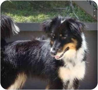 Australian Shepherd Mix Dog for adoption in Orlando, Florida - Trina