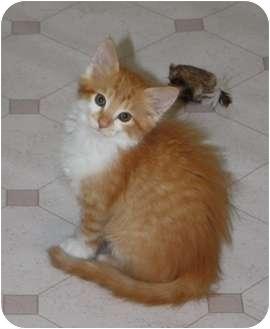 Domestic Longhair Kitten for adoption in Union, Kentucky - Rumble-Purr