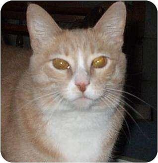 Domestic Shorthair Cat for adoption in Watsontown, Pennsylvania - Leah
