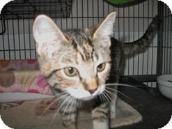 Domestic Shorthair Kitten for adoption in Shelton, Washington - Jolie