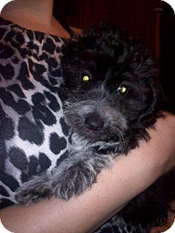 Poodle (Miniature)/Dachshund Mix Puppy for adoption in Hazard, Kentucky - Muffins