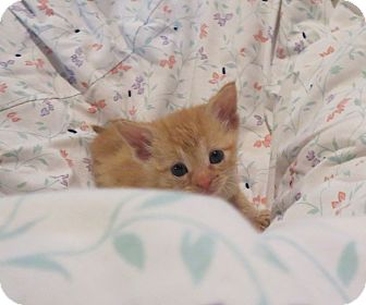 Domestic Shorthair Kitten for adoption in Geneseo, Illinois - Miss Kay