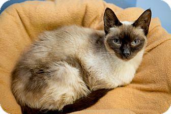 Siamese Cat for adoption in Chicago, Illinois - Sarah Ferguson
