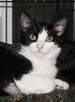 Domestic Mediumhair Cat for adoption in Salem, Oregon - Aleena