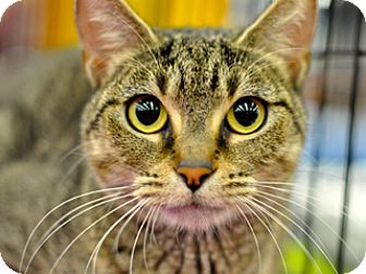 Domestic Shorthair Cat for adoption in Great Falls, Montana - Whisper