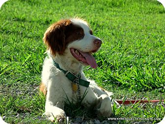 Spaniel (Unknown Type) Mix Dog for adoption in PRINCETON, Kentucky - Joey/ADOPTED