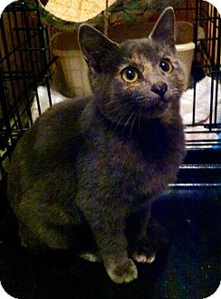 Russian Blue Cat for adoption in Spring Branch, Texas - J'Dore (like the perfume)