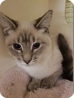 Siamese Cat for adoption in Warren, Michigan - Robin