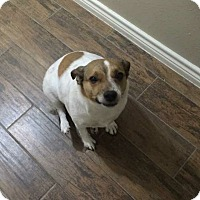 Adopt A Pet :: Trish in Spring, TX - Austin, TX
