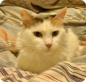Calico Cat for adoption in Brooklyn, New York - Sweet Sophia, Medium-haired Calico