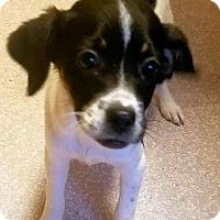Feist Mix Puppy for adoption in Petersburg, Virginia - Bella
