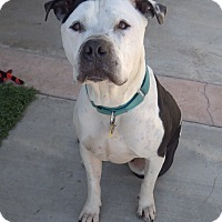 Adopt A Pet :: Chubs - Quail Valley, CA